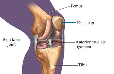 anterior_curciate_ligament_400
