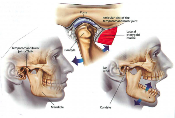 Anatomy and physiology of the tmj joint