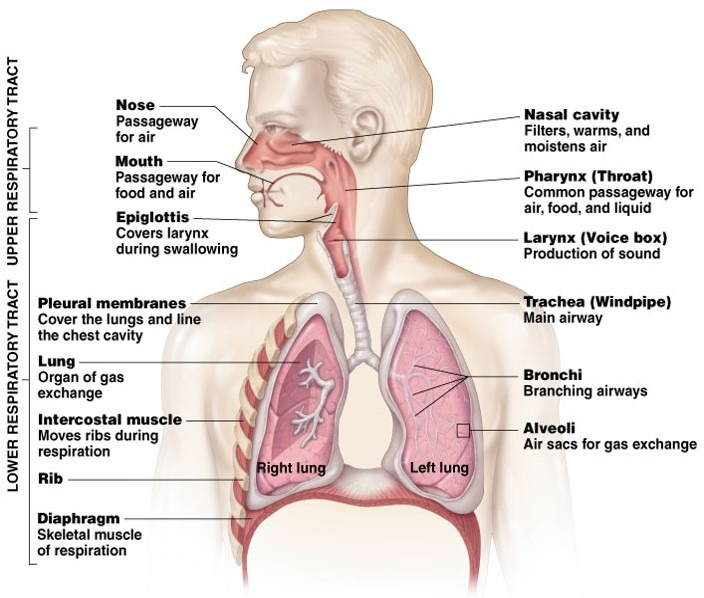 Human anatomy of upper and lower respiratory tract